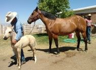She'll be a Poco Bueno for sure..as tuff as a colt!