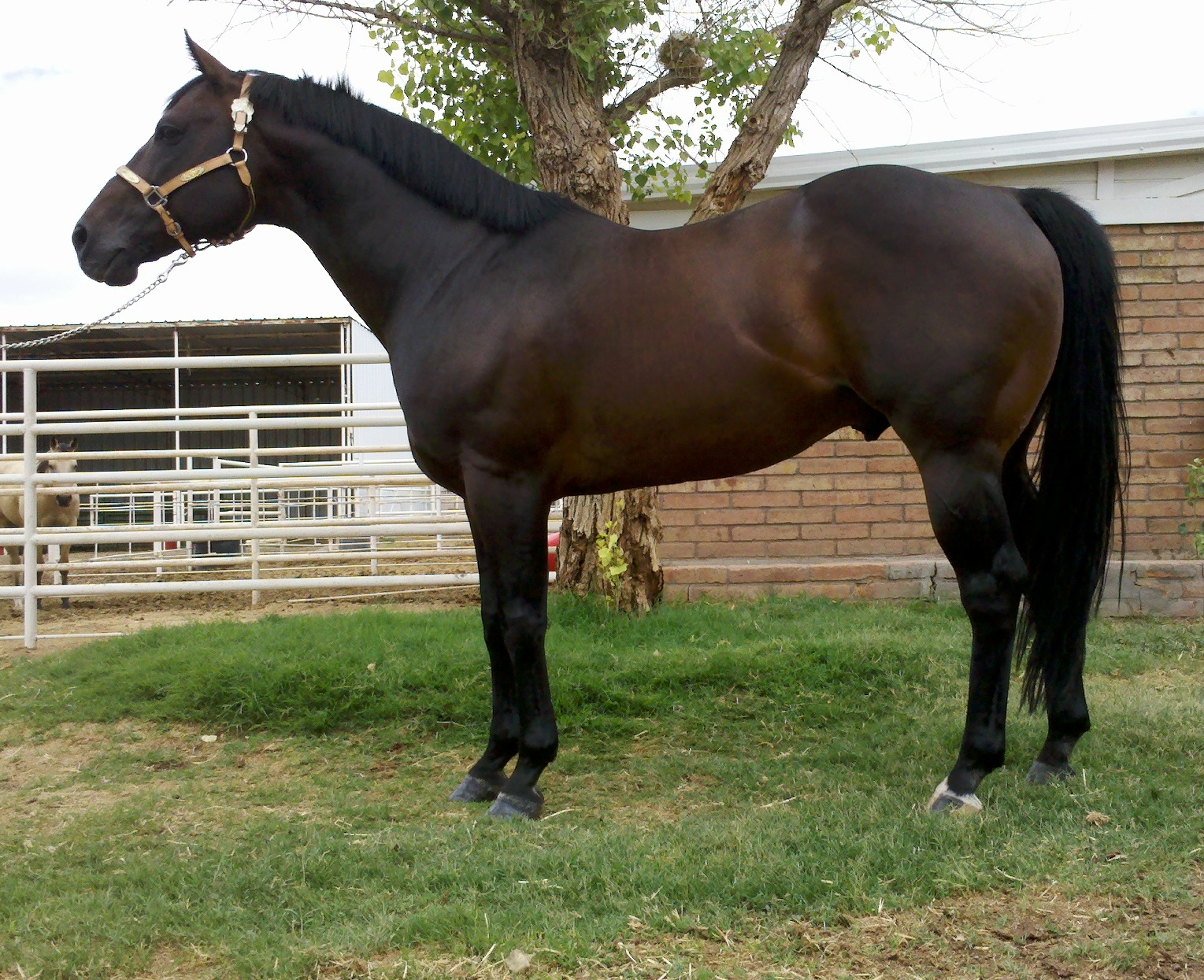 Royal Quick Dash Stallion http://jonrayranch.com/breeding/rebs-royal-dasher/